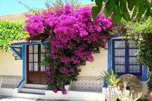 Mãn nhãn với giàn hoa giấy rực rỡ bên hiên nhà