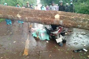 Lâm Đồng: Cây lớn gãy đổ khiến 2 người thương vong