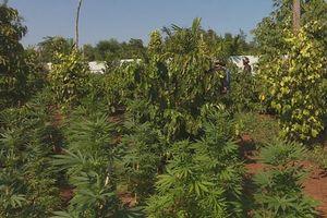 Phát hiện trồng cây cần sa trong rẫy vắng tại Đắk Lắk