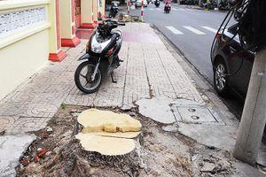 Chặt hạ 2 cây hoa sữa trên đường Nguyễn Trãi để phục vụ mở rộng đường