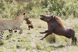 Lợn rừng châu Phi nỗ lực húc tung cả người con báo lên không trung để cứu lợn con