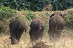 Ấn Độ: Bầy voi phá nát vườn chuối hơn 300 cây, chừa lại đúng một cây vì lý do rất bất ngờ