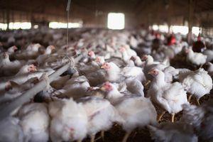 Mỹ thiếu thịt gà, sốt cà chua vì Covid-19