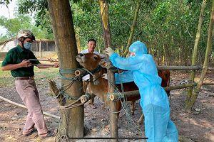 Tập trung phòng, chống bệnh viêm da nổi cục trên trâu, bò