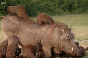 Ngỡ ngàng mối quan hệ độc đáo giữa lợn bướu và cầy mangut