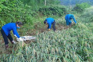 Người dân chung tay gặt lúa đổ sau bão cho các gia đình có hoàn cảnh khó khăn