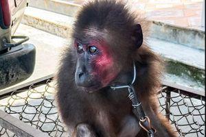 Hà Tĩnh: Bàn giao cá thể khỉ mặt đỏ để thả về môi trường tự nhiên