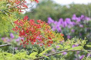 Ngắm bằng lăng, phượng vĩ rực nở trên miền đất lịch sử Điện Biên