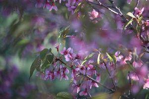 Ngắm hoa anh đào nở trái mùa đẹp rực rỡ giữa mùa đông ở Vân Nam
