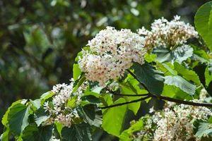 Mãn nhãn ngắm rừng hoa Trẩu trắng muốt nơi cực Tây Tổ quốc