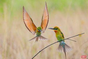 Độc đáo mùa chim trảu ghép đôi giữa lòng Đà Nẵng