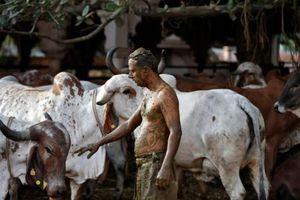 Ấn Độ: Dân bôi phân bò ngừa COVID-19, bác sĩ khuyên đừng