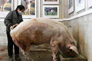 Con lợn 'kỳ diệu' trong động đất Tứ Xuyên sống lâu hơn kỳ vọng