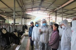 Tập trung kiểm soát dịch bệnh viêm da nổi cục trâu, bò