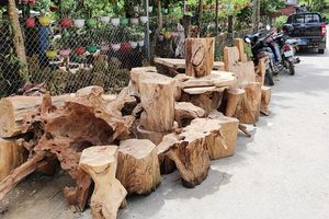 Kiểm tra năm cơ sở chế biến lâm sản, thu giữ hơn 6m3 gỗ pơ-mu bất hợp pháp