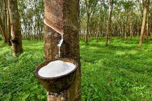 Giá cao su hôm nay 12/5: Sàn châu Á lại chìm trong sắc đỏ, Malaysia quyết hồi sinh ngành công nghiệp săm lốp