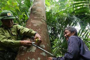 'Gàn già' với rừng lim xanh trăm tuổi