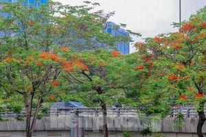 Chớm hè, hoa phượng rạo rực khắp phố phường Hà Nội