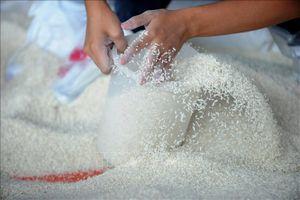 FAO: Ấn Độ dự định xuất khẩu gạo kỷ lục để giúp giữ giá ổn định