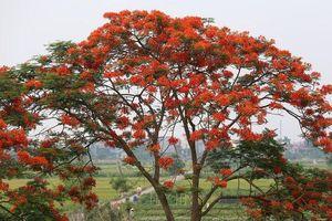 Phố phường Hà Nội rực rỡ trong sắc hoa phượng đỏ tháng 5
