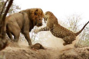 Đang say giấc nồng, báo hoa mai 'giật bắn người' trước pha tấn công chớp nhoáng của sư tử