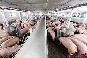 Giá lợn hơi hôm nay 13/5/2021: 2 miền Trung - Nam giảm 2.000 - 4.000 đồng/kg