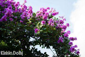Hà Nội: Bằng lăng nở tím trời những ngày đầu hạ