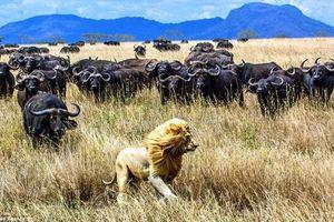 Gặp cả trăm trâu rừng, vua sư tử bỏ chạy giữ mạng