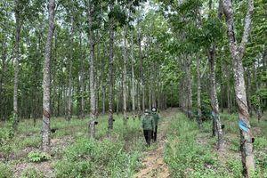 Chuyện lạ ở Gia Lai: Hàng trăm ha cao su bị 'trồng trộm' trên đất rừng