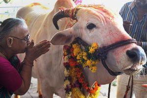 Bò và những loài vật linh thiêng trên thế giới