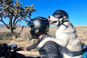 Chú chó husky 10 năm phượt khắp Mỹ