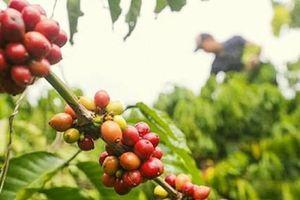 Giá cà phê hôm nay 14/5: Trong nước giảm thêm 200 đồng/kg