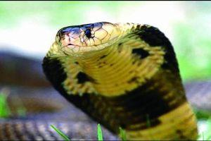 Ngửi bằng lưỡi, phóng chất độc và loạt khả năng kỳ lạ của loài rắn