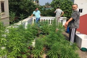 Nam thanh niên trồng hàng chục cây cần sa trên nóc nhà
