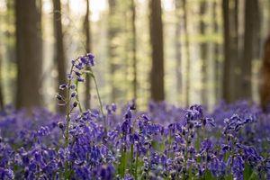 Lạc bước giữa rừng hoa chuông xanh lãng mạn
