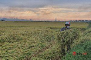 Thừa Thiên Huế: Nông dân tất bật thu hoạch lúa, đeo khẩu trang kín mặt, không ngồi đông người