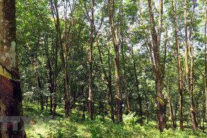 Cao su vô chủ mọc trên đất rừng ở Gia Lai: Trách nhiệm thuộc về ai?