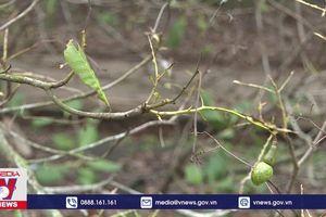 Bọ cánh cứng gây hại trên cây trồng ở Bình Phước