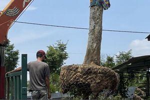 Kon Tum: Quyền Cục trưởng đã mang trả lại cây khế cổ thụ
