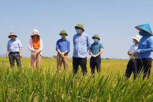 Thời tiết thuận lợi, nông dân thông minh, Nghệ An bội thu lúa xuân