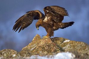 Rao bán chim săn mồi trên Facebook có vi phạm pháp luật?