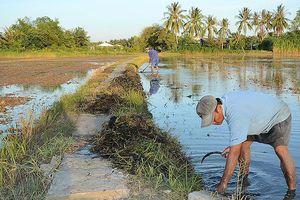 Các tỉnh đồng bằng sông Cửu Long tập trung sản xuất lúa vụ hè thu