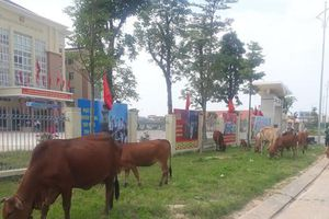 Thả rông đàn bò trên phố, 2 người bị xử phạt