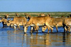 Hàng trăm con linh dương thuộc nhóm cực kỳ nguy cấp chết bí ẩn ở Kazakhstan