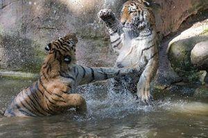 Hai chú hổ Siberi trổ tài biểu diễn 'kungfu'