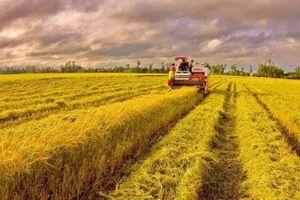 Giá lúa gạo hôm nay 15/5: Giá lúa gạo nội địa đi ngang