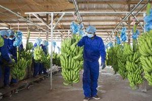 HAGL Agrico kỳ vọng thu hơn 1.300 tỷ đồng từ chuối