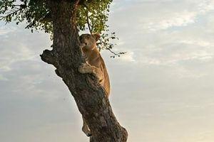 Sư tử làm điều khó tin, gieo uất hận cho báo