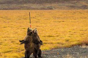 Sở thích 'múa cột' kỳ quái của gấu nâu và bí ẩn đằng sau
