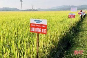Giống lúa lai 3 dòng cho năng suất gần 70 tạ/ha ở huyện miền núi Hà Tĩnh